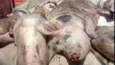 Pesta porcina.