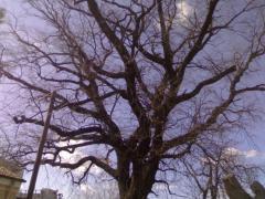 Cel mai batran copac din Turnu-Magurele