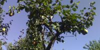 Poze pomi fructiferi